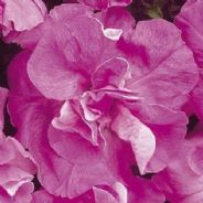 Petunia F1 Double Duo Lavender - 30 Pelleted seeds